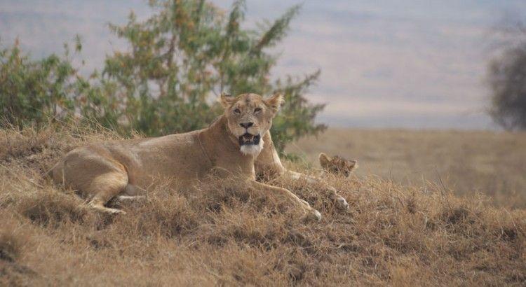 leones en crater del Ngorongoro